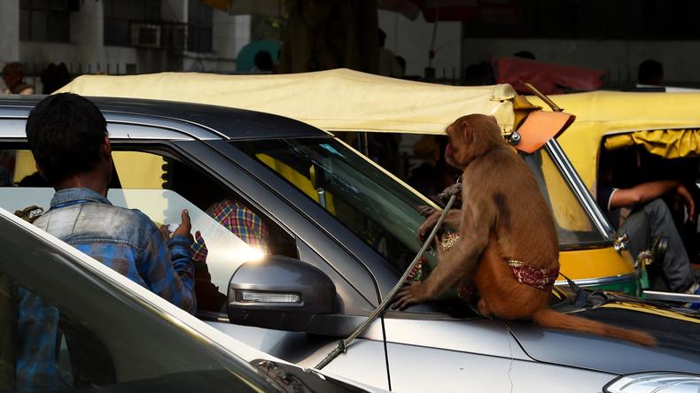 Verkehrswesen in Indien: Affe sitzt auf Lenkrad – Busfahrer wird suspendiert