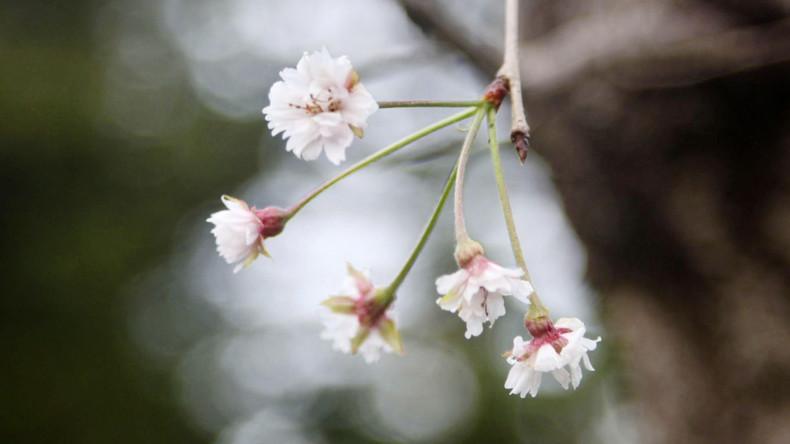 Kirschblüte im Oktober? Wichtigster Baum Japans überraschend aufgeblüht
