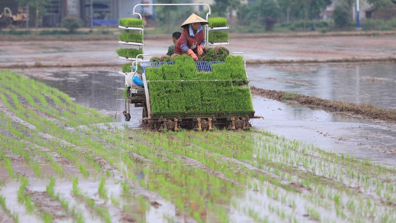 China fährt erste Ernte von Salzwasser-Reis ein: Nahrung für 80 Millionen Menschen