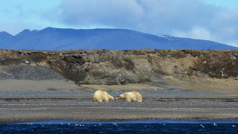 Eisbären belagern Dorf auf russischer Halbinsel – wegen Klimawandel bleiben Tiere länger an Land