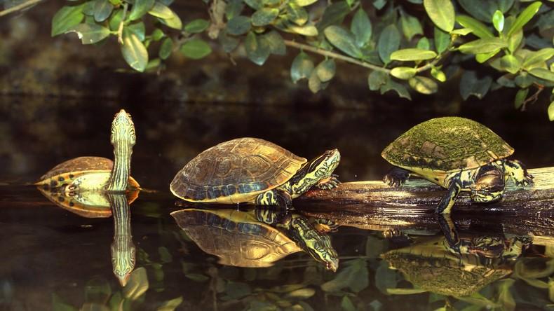 Kubanischer Angler findet siamesische Zwillingsschildkröten – Reptilien erlangen landesweiten Ruhm