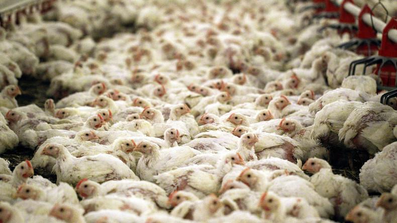 Etliche Geflügelhöfe in fünf Bundesländern gesperrt – Verdacht auf belastetes Futter