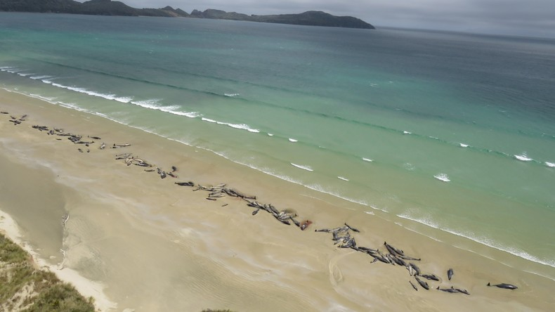 Herzzerreißende Szene: 145 Grindwale auf neuseeländischer Insel gestrandet