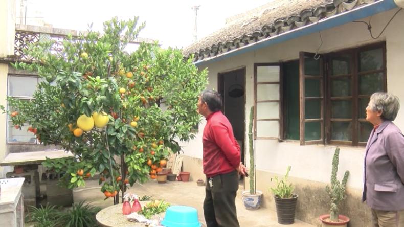 China: Gärtner mit 60 Jahren Erfahrung zieht Baum mit elf verschiedenen Zitrusfrüchten heran