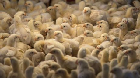 In Deutschland schlüpfen pro Jahr knapp 40 Millionen Legehennen, die uns mit frischen Eiern versorgen. Jeder Deutsche isst rund 230 Eier pro Jahr.