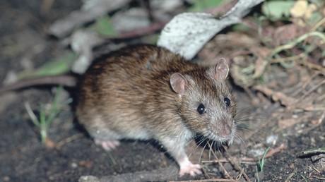 Ratte beißt in Kabel und verursacht Stromausfall in Düsseldorf