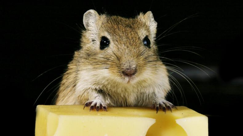 Organe aus dem Weltall: Russische Wissenschaftler züchten erstmals Mäuse-Schilddrüse auf der ISS