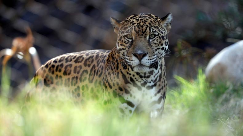 Griechische Zoomitarbeiter töten zwei entlaufene Jaguare