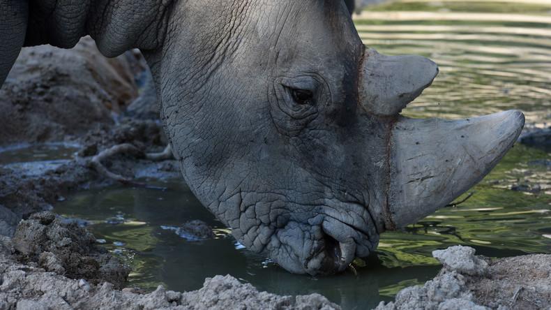 Von Fluten mitgerissenes Nashorn kehrt aus Indien nach Nepal zurück