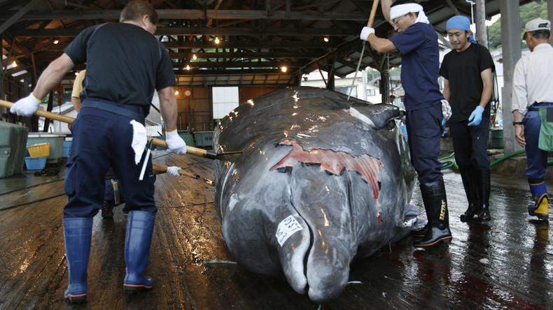 Japan tritt aus Internationaler Walfangkommission aus - Jagd zu Geschäftszwecken ab Juli