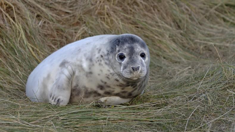 Weite Reise: Frau findet Robbenbaby im eigenen Garten sechs Kilometer vom Strand entfernt
