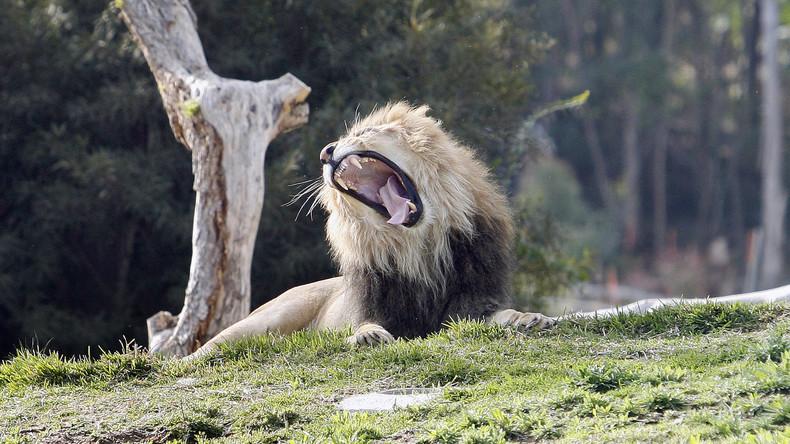 Löwe tötet Tierpark-Praktikantin