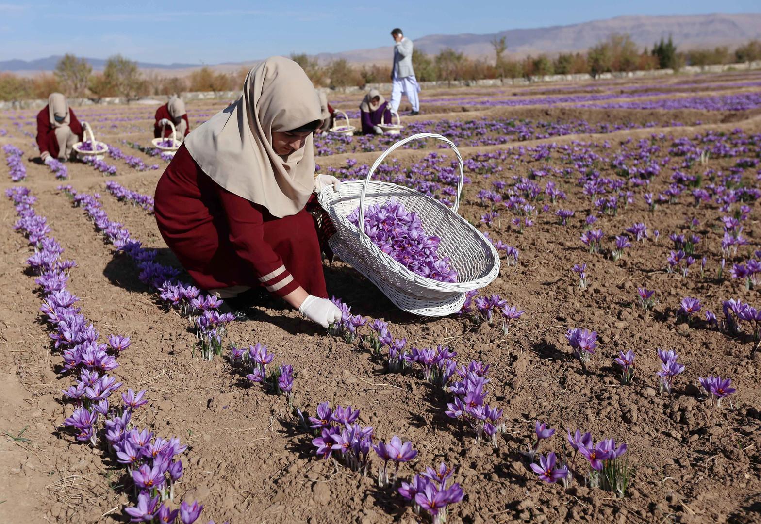 Rotes Gold: Afghanischer boomender Safran könnte Alternative zum Handel mit Schlafmohn werden