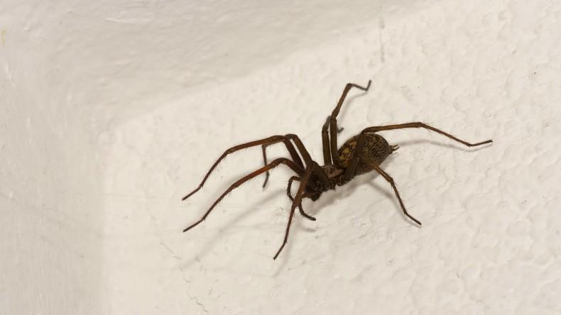 """""""Warum stirbst du nicht?"""": Polizei ahnt Schlimmes und entdeckt Mann, der Spinne töten will"""