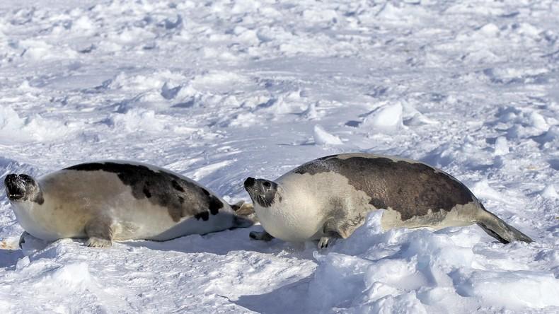 Weil Bucht zu schnell zufror: kanadische Stadt versinkt im Chaos gestrandeter Robben (Video)