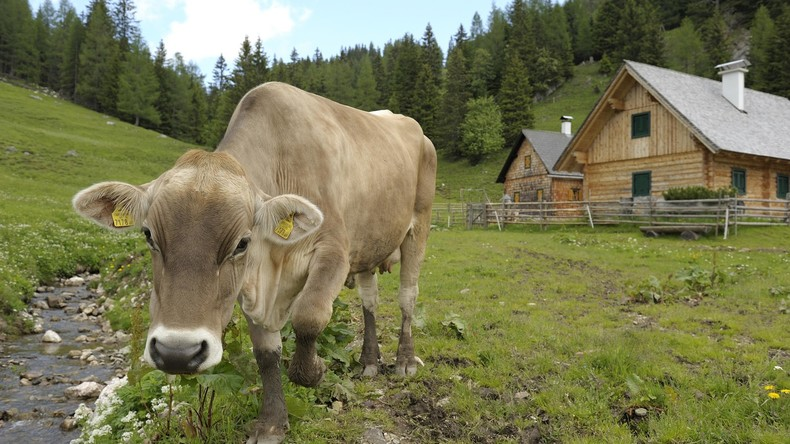 Holla-die-Waldkuh-Halb-Alaska-sucht-Kuh-die-vor-sechs-Monaten-dem-Rodeo-entfloh