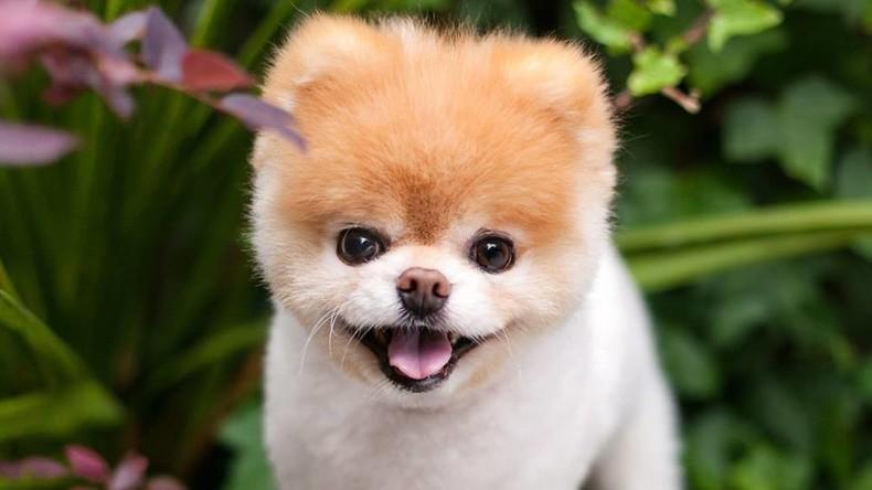 """""""Niedlichster Hund der Welt"""": Facebook-Berühmtheit Boo ist tot"""