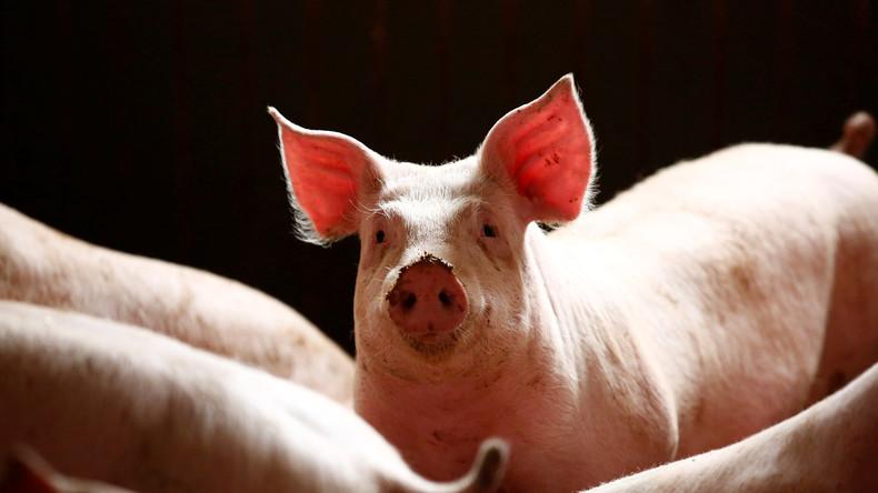 Dänemark schottet sich ab: 70-Kilometer-Grenzzaun gegen Schweinepest
