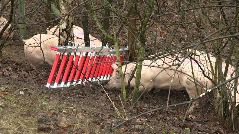 Viehtransporter rammt Auto - drei Tote, viele Schweine verendet