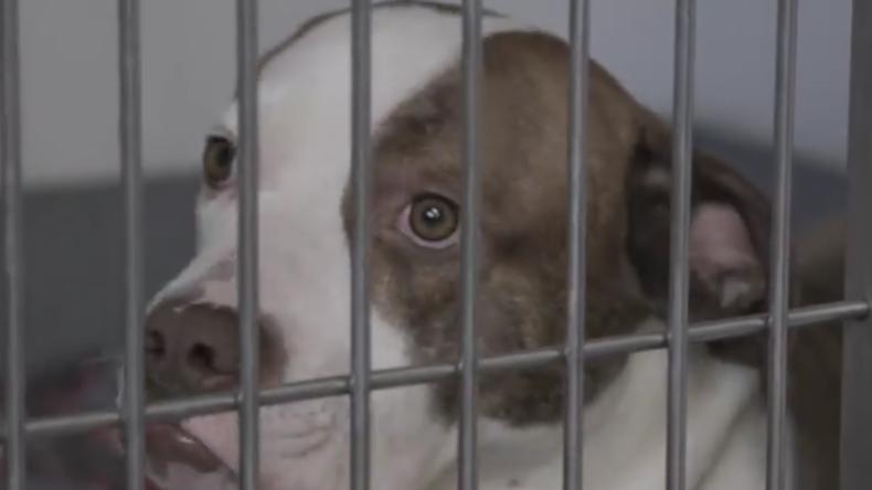 Britisches Rasse-Gesetz: Bailey – ein lieber Hund, der wegen seines Aussehens eingeschläfert wurde