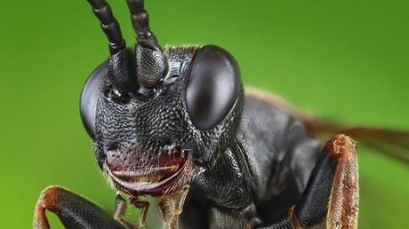 Die Gehirne kleiner, fliegender Insekten sollen für die militärische Nutzung von KI emuliert werden. Bild: Schlupfwespe.