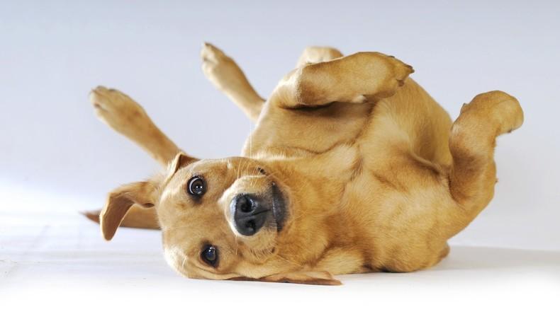 Tierschutzverein: Fälle von Hanf-Konsum durch Haustiere in den USA um fast 800 Prozent gestiegen