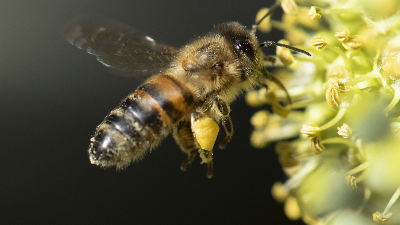 """Summa summarum statt """"Summ, summ ..."""": Bienen können Mathematik"""