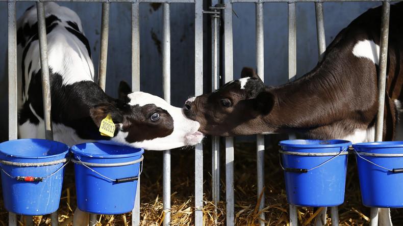 Neue Dating-App für Vieh in Großbritannien