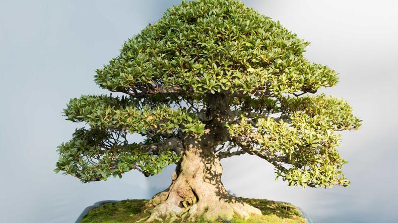 400 Jahre alter Bonsai-Baum in Japan gestohlen – frühere Besitzer beraten Diebe über richtige Pflege