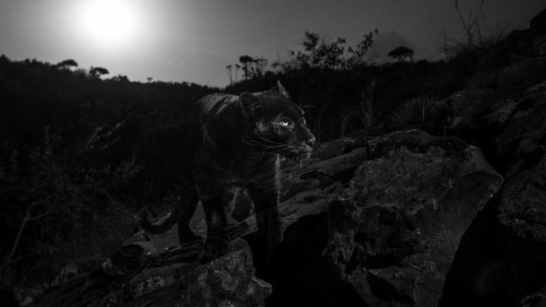 Britischem Fotografen gelingt erstes Bild des afrikanischen schwarzen Leoparden seit über 100 Jahren