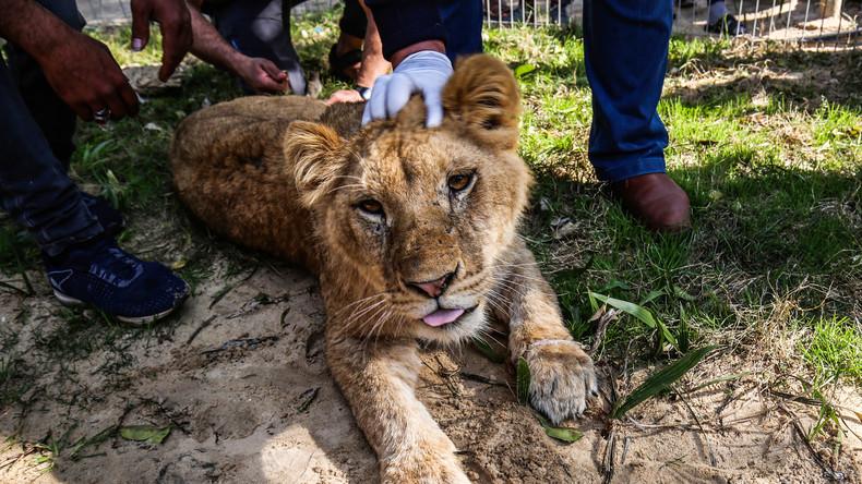 Ungeheuerliche Tierquälerei: Zoo von Gaza entkrallt Löwin, damit Besucher mit ihr spielen können
