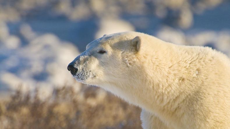 Entwarnung am Polarmeer: Eisbären ziehen sich aus Siedlungen zurück