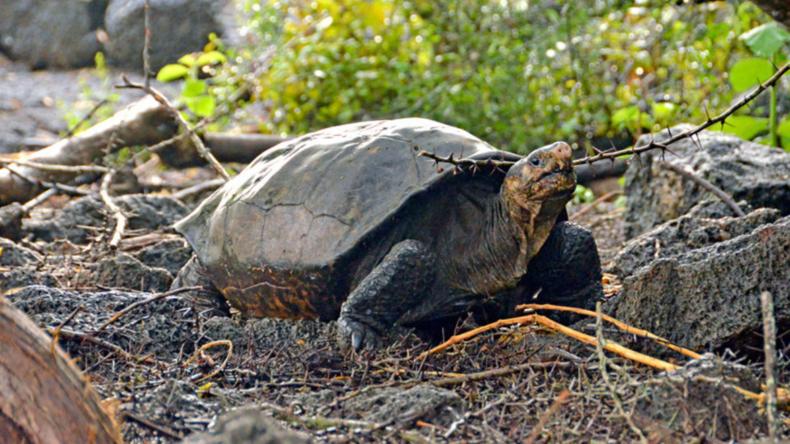 Schildkröte auf den Galapagos-Inseln entdeckt, die seit über 100 Jahren als ausgestorben galt