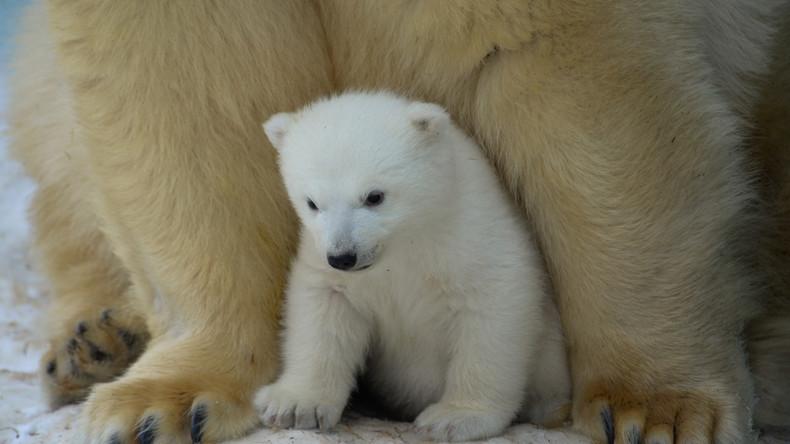 Russland: Nowosibirsker Zoo zeigt Eisbärenbabies