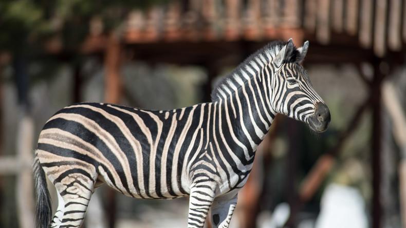 Forscher stellen fest: Streifen von Zebras dienen nicht zum Schutz vor Raubtieren