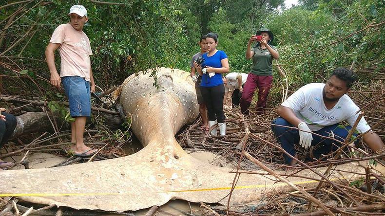 Kadaver von Buckel-Wal am Amazonas verblüfft Biologen