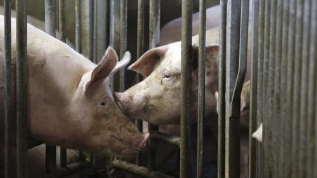 Symbolbild: Schweinefarm.
