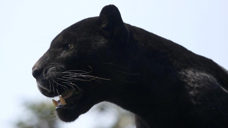 Jaguar greift Frau bei Selfie-Aufnahme in US-Zoo an