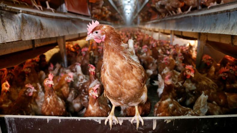 Überlistet: Hennen picken Fuchs auf französischem Bauernhof zu Tode