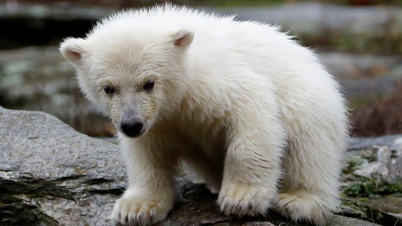 Bloß ma kieken: Berliner Eisbärbaby erkundet zum ersten Mal Außengehege (Video)