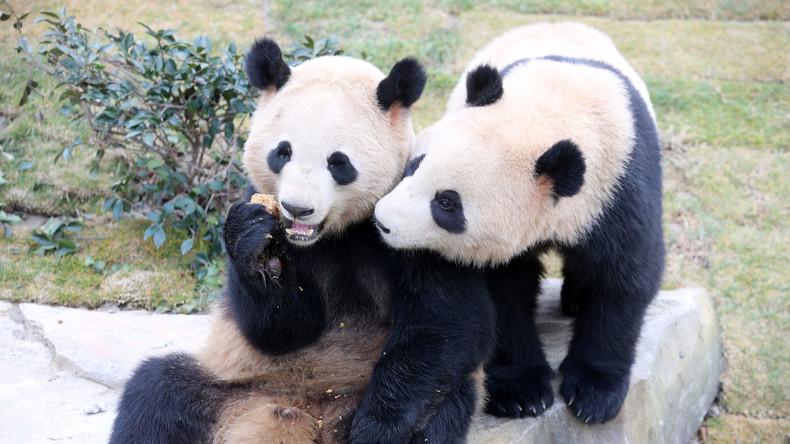 Pandabären-Zucht in Chengdu: Die Geschichte einer Panda-Züchterin (360° Video)