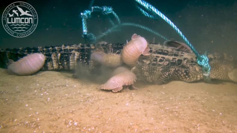 Einzigartige Aufnahmen in 2.000 Metern Tiefe: Riesenasseln vertilgen Alligatoren