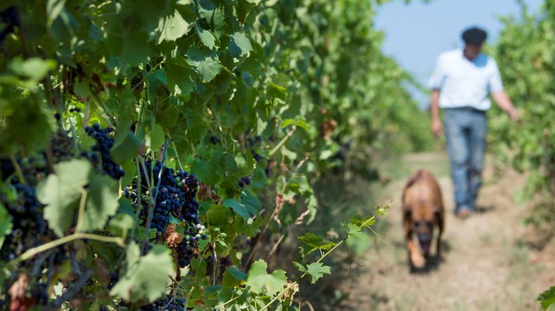 Globale Weinproduktion erreicht höhsten Stand seit 15 Jahren