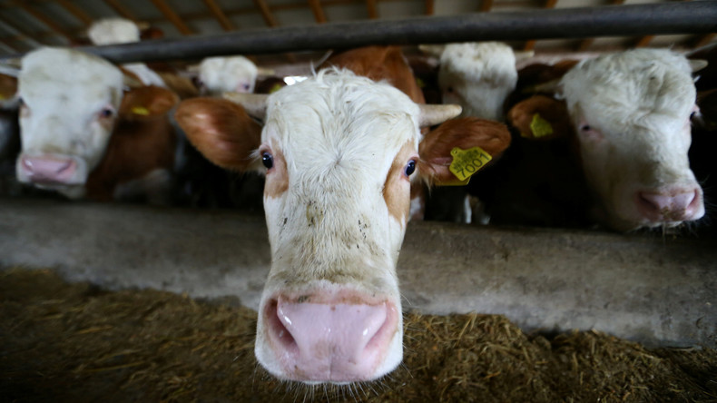 Melkst du noch oder vernetzt du schon? 5G an britischen Kühen getestet