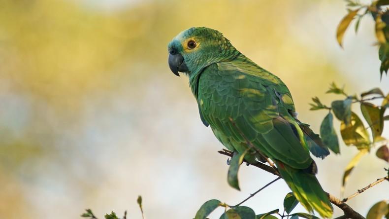 Brasilien: Papagei bei Razzia festgenommen – er warnte Drogenhändler vor Polizei