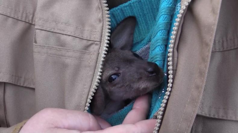 Sankt Petersburg: Tierpflegerin und Ersatzmutter zieht Känguru-Baby in Wollmütze auf