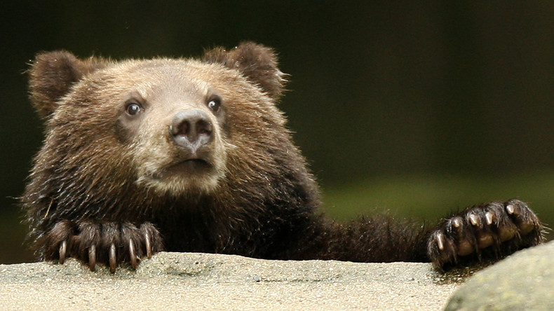 Wildes Russland: Bär bringt Jäger um ihre Wegzehrung