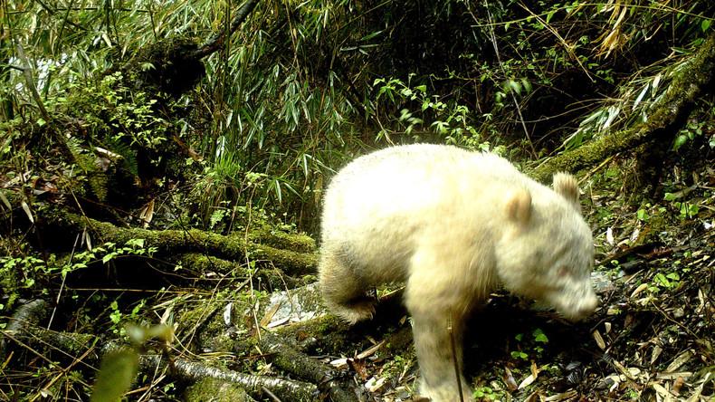 Weiß von Kopf bis Pfote: Naturpark in China veröffentlicht weltweit erste Fotos von Albino-Panda