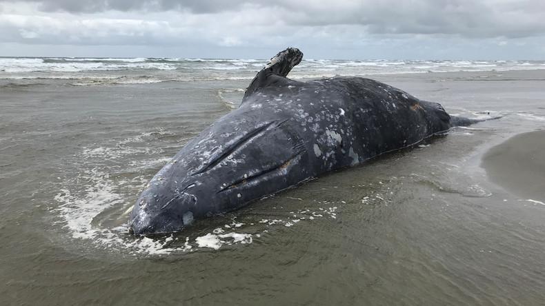 """Tote Grauwale an US-Küste – Wissenschaftler sprechen über """"ungewöhnliche Sterblichkeit"""""""