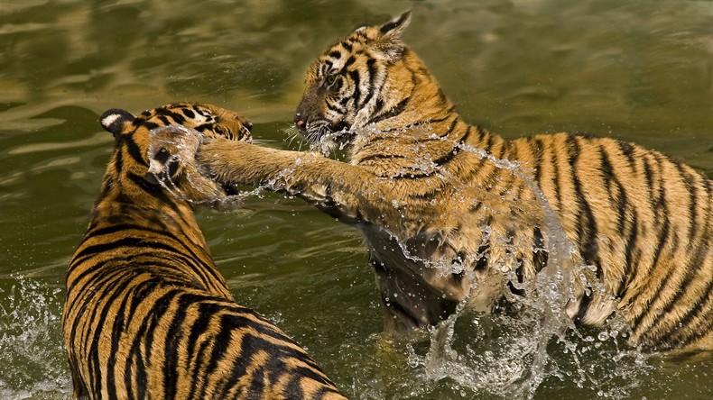 Putin über Russland im Handelskrieg: Wenn Tiger im Tal kämpfen, wartet der schlaue Affe das Ende ab